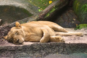 A tired but not lazy lion!